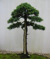 Bonsai Samen i! HIMALAYA-ZEDER !i winterharter frostharter Garten Baum Saatgut