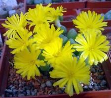 Conophytum tantillum ssp inexpectatum  MG1473.11-  seeds 20 pcs