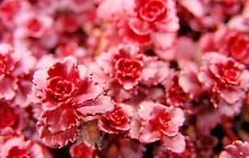 Sedum Dragon's blood 50 seeds succulents excellent ground cover  CombSH D46