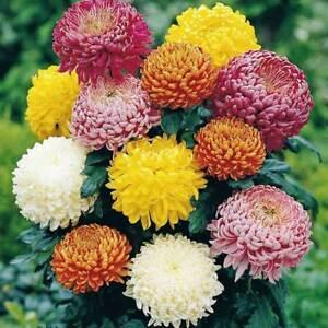 chrysanthemum rainbow colors flower seeds
