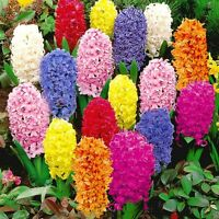 300 Pcs Mixed Color Hyacinthus Orientalis Seed (it is not hyacinth bulbs) Decor