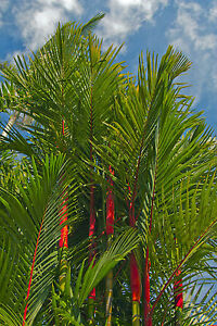 Garten Blumen Samen Rarität seltene Pflanzen schnellwüchsig SIEGELLACK-PALME