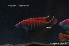 "(5) 1""-2"" Unsexed Pundamilia Nyererei - African Cichlid Haplochromis Victoria"