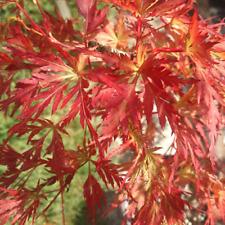 Acer Shrubs Hedges Bushshrub For Sale Ebay