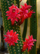 Bolivicereus Samaipatanus (10 SEEDS) Cactus Samen Korn Semi Graine 種子 씨앗 Семена
