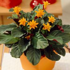 Calathea Crocata Indoor Plant - 'Eternal Flame' Indoor Office Shrub In 14cm Pot