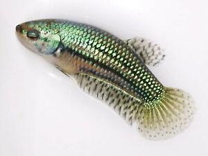 (LimitedOffer!) Premium Live Betta Fish l Female Turquoise Alien Plakat 42111