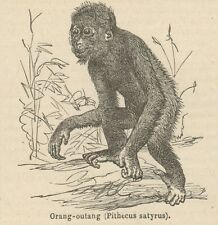 C8868 Pithecus satyrus - Stampa antica - 1892 Engraving
