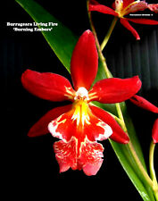 Burr Living fire 'Glowing Ember', orchid plant