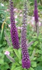 3x Teucrium hircanicum Purple Tails Hardy Perennial Bee plants - 9cm pots