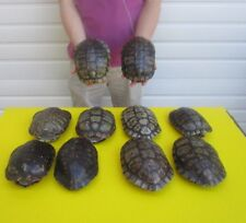 10 piece lot of 7+ inch Red Eared Slider Turtle Shells - taxidermy # 35157