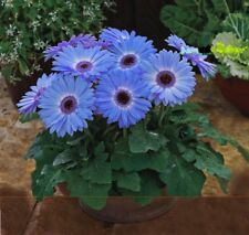 100 Seed/Pack Majorette Blue Halo Gerbera Daisy Seed, Early Spring Fragrant