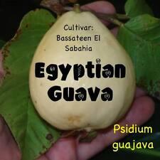 ~EGYPTIAN GUAVA~ Fruit Tree cv Bassateen El Sabahia LIVE potd sml starter Plant