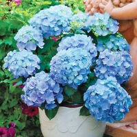 Gorgeous 10 Blue Hydrangea Flower Seeds Easy to Plant Ideal Garden Present