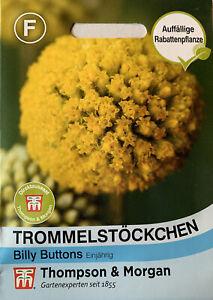 Trommelstöckchen 'Billy Buttons' - Pycnosorus globosus, Samen, 0775