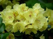 RHODODENDRON FLAVA YELLOW FLOWERING EVERGREEN SHRUB, 7.5 LT POTTED PLANT