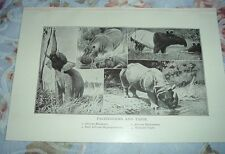 1919 PACHYDERMS AND TAPIR African Elephant Rhinoceros Hippopotamus Malayan Print