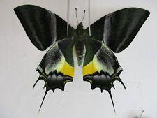 PA3235. Unmounted butterflies:Teinopalpus imperialis.Central Vietnam. Over 2000m