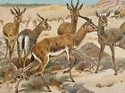 1901 Antique Natural History Color Animal Print Dorcas Gazelle Desert Landscape