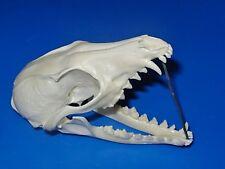 Real - Nevada - GREY FOX SKULL - Hunt Trap Antler Skeleton Bones Horn