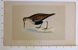 c1875 ANTIQUE PRINT ~ DUNLIN HAND COLOURED British Birds Morris