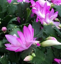 "Pink Christmas Cactus Plant Live Indoor House Zygocactus 4"" Pot Best GIft Yard"
