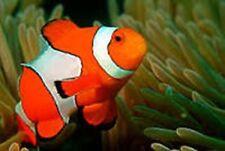 Ocellaris Clown Fish