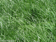 "Kentucky 31 Tall Fescue Grass Seed ""Raw"" 10 Lbs"