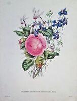 Painting by James Andrews. Cyclamen, Rosa. Clarke sculp. Print. Vintage Item.