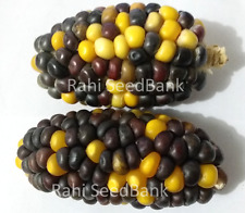 Corn King Bumble Bee - A Rare, Unique & Gorgeous Black Yellow Corn Variety!!!