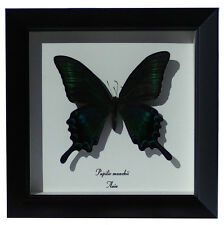 Papilio Maackii Real Mounted Butterfly