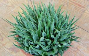 Alte Haworthia attenuata-Gruppe, Sukkulente, Pflanze, Kaktus, Aloe