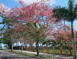 Cassia grandis Coral Shower Tree, Pink shower tree 100, 300, 1200 seeds
