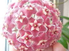 "Hoya Pubicalyx . ""Silver Prince"". cv. ""Pink Silver"" .Ableger"