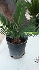 Sago Palms-2