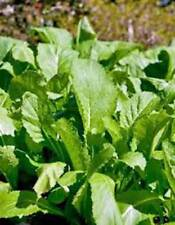 MUSTARD GREENS SEED, OLD FASHIONED GREEN, HEIRLOOM, ORGANIC, NON GMO, 100 SEEDS,
