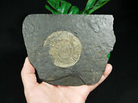 A Big! Natural 180 Million Year Old Dactylioceras Ammonite Fossil Germany 496gr