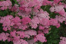 50+ Pink Achillea Flower Seeds / Perennial