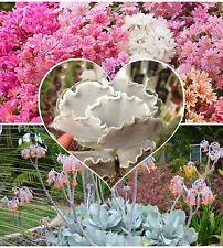 Cotyledon mixed species! Wide mixture, Houseplant or outdoor, Succulent seeds