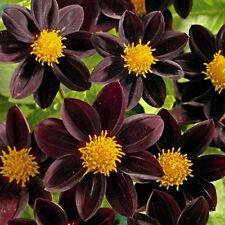 "DAHLIA VARIABILIS ""BLACK BEAUTY""  20 seeds"