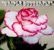 """New listing Adenium Obesum Desert Rose Rosy """" Triple Butterfly """" 10 Seeds New Hybrid"""