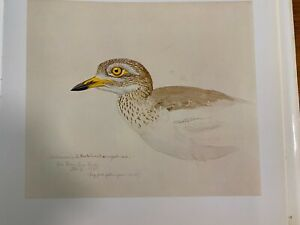 """Louis Agassiz Fuertes & The Singular Beauty of Birds, """"Stone Curlew"""" Print"""