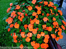BUSY LIZZIE ORANGE - BABY SERIES 230 seeds - Impatiens walleriana TOP FLOWERING