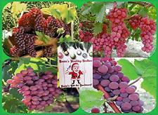 Homegrown Grape Seeds, 80, Table Grape Variety