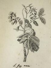 Acacia DESSIN ORIGINAL Plante BOTANIQUE 28x19cm XIX°