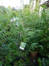 Plants Bamboo Gracilis Slender Weaver 250-300mm pots1.5-3m hgt   5 pots for $345