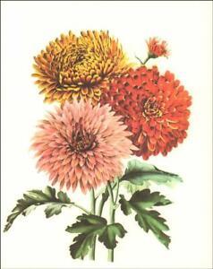 CHRYSANTHEMUM FLOWER, PLANT, BOTANICAL, vintage print c.1950