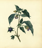 Deadly Nightshade Flower – Original c.1830s watercolour painting
