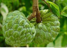 20 seed Sugar apple; Annona squamosa Thai herb fruit