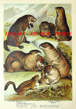 Marmot Spermophile Prairie Dog ~ 1880 Color Art Print